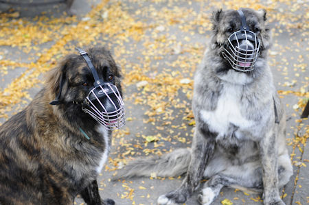 Wire Dog Muzzle for Kavkazskaya Ovcharka