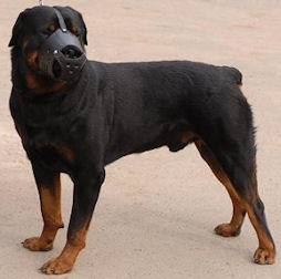 Rottweiler dog muzzle for training ,walking